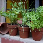 7 Popular Potted Herbs