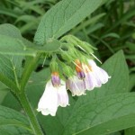Cooking with Comfrey
